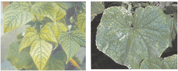 Manganese deficiency on crops: left: garden bean (Phaseolus vulgaris L.) and right, cucumber (Cucumis sativus L.)
