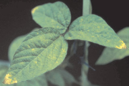 Leaf tip necrosis in soybean plants (Glycine max Merr.) grown in nutrient solution provided with equimolar concentrations of nitrate and ammonium. Solutions were made free from nickel by first passing solutions through a nickel-specific chelation resin. Leaf tip necrosis was observed coincident with the commencement of flowering