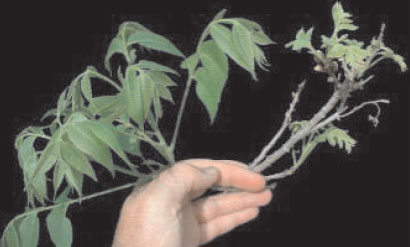 Branches of nickel-sufficient (left) and nickel-deficient (right) pecan (Carya illinoinensis K. Koch). Symptoms include delayed and decreased leaf expansion, poor bud break, leaf bronzing and chlorosis, rosetting, and leaf tip necrosis