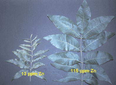 Zinc-deficient pecan (Carya illinoinensis K. Koch) leaves (left) can contain less than 30mg Zn per kg compared to over 80 mg Zn per kg Zn in healthy leaves (right). The zinc-deficient leaves have small crinkled leaves that are mottled with yellow. Healthy zinc-sufficient leaves are dark green. Actual zinc concentration of each leaf is shown in the photograph