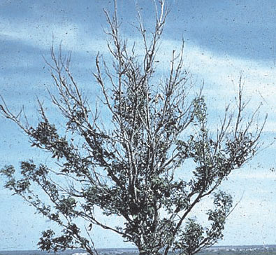 If the rosetted pecan (Carya illinoinensis K. Koch) trees are not treated, the terminals die followed by death of the entire tree. Dieback can occur on young or old trees