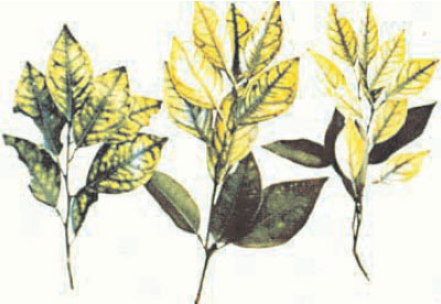 Mottled leaf symptoms characterize zinc deficiency symptoms in citrus (Citrus spp. L.)