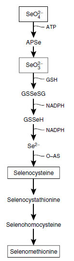 Proposed pathway for formation of the two Se-amino acids, Se-cysteine and Se-methionine in plants. (Abbreviations: APSe, adenosine 5'-selenophosphate; GSH, reduced glutathione; GSSeSG, selenotrisulphide; GSSeH, selenoglutathione; O-AS, acetylserine.