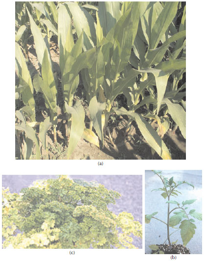 Photographs of nitrogen deficiency symptoms on (a)</a> corn (Zea mays L.), (b) tomato (Lycopersicon esculentum Mill.), and (c) parsley (Petroselinum crispum Nym.).