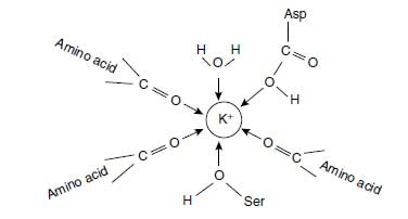Potassium complexed by organic molecules of which the oxygen atoms are orientated to thepositive charge of K+