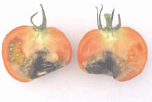 Cross section of fruit of tomato (Lycopersicon esculentum Mill. cv Jack Hawkin) showing advanced symptoms of BER.