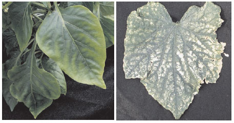 Symptoms of magnesium deficiency on (left) pepper (Capsicum annum L.) and (right) cucumber (Cucumis sativus L.)