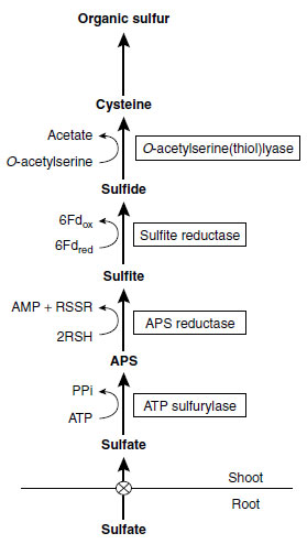 Sulfate reduction and assimilation in plants