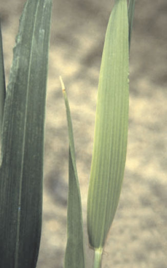 Macroscopic sulfur deficiency symptoms of winter wheat (Triticum aestivum L.) at stem extension