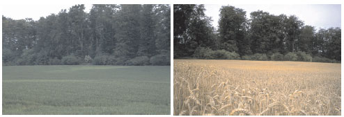 Chlorotic patches in a field (left) and resultant effects on mature plants (right), indicating severe sulfur deficiency symptoms in relation to soil characteristics.