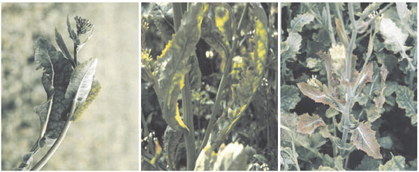 Marbling, spoon-like leaf deformations and anthocyanin enrichments of sulfur-deficient oilseed rape plants (Brassica napus L.)