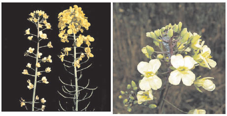 White flowering (left) and morphological changes of petals (right) of sulfur-deficient oilseed rape (Brassica napus L.)