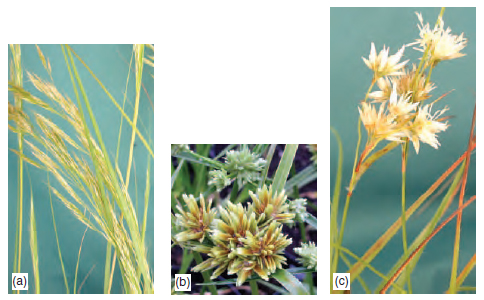 Figure 10.2 Wind-pollinated species have small, inconspicuous flowers, e.g. (a) Stipa calamagrostis (b) Cyperus chira (c) Luzula nivea