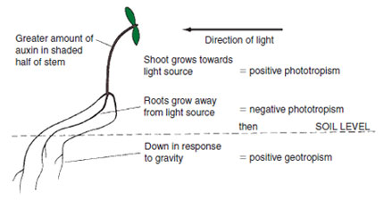 Figure 11.2 Geotropism and phototropism shown as mechanisms assisting the survival of the seedling