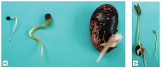 Figure 11.3 Seed germination: (a) epigeal germination on left in leek and tree lupin, hypogeal germination on right in runner bean (b) later stage showing hypogeal in bean on left and epigeal in tree lupin on right