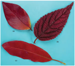 Figure 11.9 Autumn colour in (a) Blueberry, (b) V iburnum and (c) P hotinia , showing loss of chlorophyll and emergence of xanthophylls.