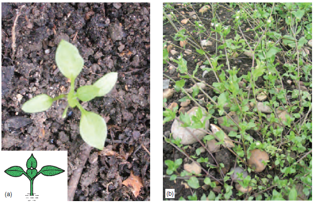 Figure 13.5 (a) Chickweed seedling (b) C hickweed plant