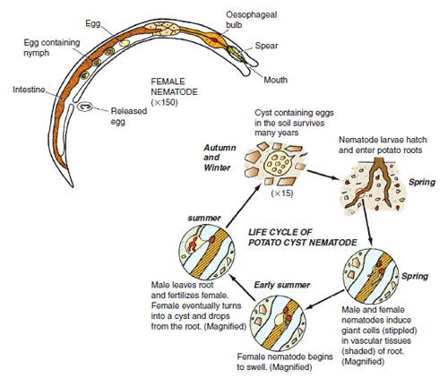 Figure 14.28 The generalized structure of a nematode and life cycle of potato cyst nematode