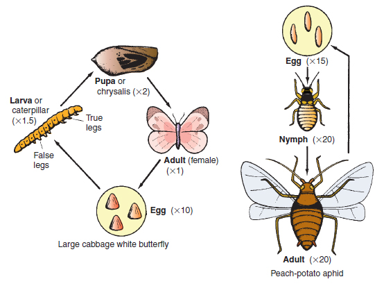 Figure 14.6 Life cycle stages of a butterfly and an aphid pest . Note that all four stages of the butterfly's life cycle are very different in appearance. The nymph and adult of the aphid are similar