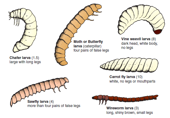 Figure 14.7 Insect larvae that damage crops. Identification into the groups above can be achieved by observing the features of colour, shape, legs and mouthparts