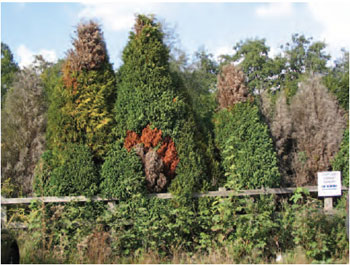 Figure 15.14 Conifer root rot. Note the different shades of colour in individual trees, representing different stages of infection
