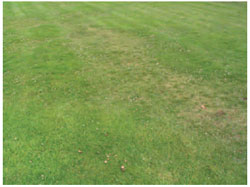 Figure 15.16 Fusarium patch on turf. Note the area of dying turf. In the earlier stages of the disease, distinct circular patches about 30 cm across are seen.