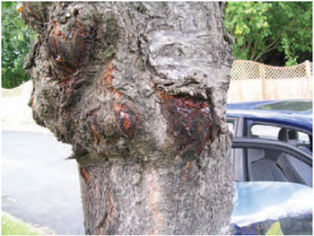 Figure 15.18 Bacterial canker on Prunus. Note the swollen trunk and gum oozing from the infected area