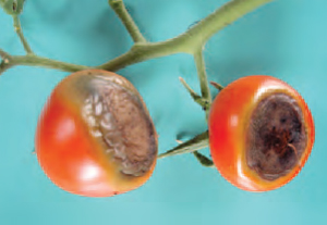 Figure 15.22 Blossom end rot in tomato. The fruit at the opposite end from the stalk has a typical black sunken appearance