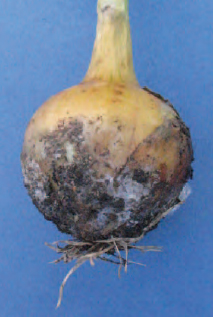 Figure 15.3 White rot on onion. Note the black sclerotia which enable this disease to survive long periods in the soil