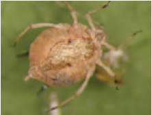 Figure 16.6 Swollen aphid parasitized by tiny wasp