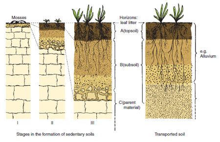 Figure 17.5 The development from a young soil consisting of a few fragments of rock particles to a deep sedentary soil is shown alongside a transported soil. A subsoil, topsoil and leaf litter layer can be identified in each soil. Simple plants such as lichens and mosses establish on rocks or fragments to be succeeded by higher plants as soil depth and organic matter levels increase.