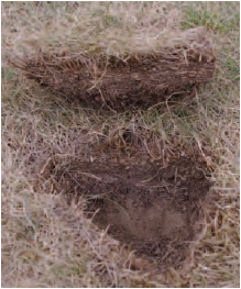 Figure 18.6 Thatch. This shows the build-up of organic matter in the surface of the turf