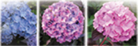 Figure 20.1 Hydrangeas. Blue flowers are produced by plants in a growing medium at a low pH whereas pink occurs in those nearer neutral; with less determinate colours in between