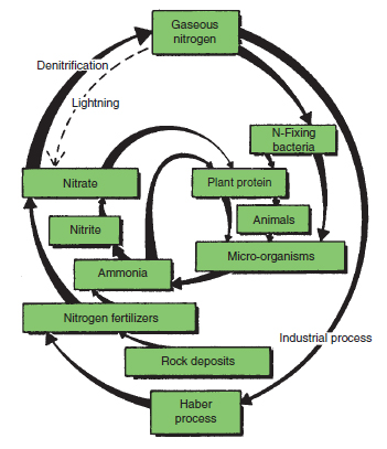 Figure 21.2 Nitrogen cycle. The recycling of the element nitrogen by organisms is illustrated. Note the importance of nitrates that can be taken up and used by plants to manufacture protein. Micro-organisms also have this ability but animals require nitrogen supplies in protein form. Gaseous nitrogen only becomes available to organisms after being captured by nitrogen-fixing organisms or via nitrogen fertilizers manufactured by man. In aerobic soil conditions, bacteria convert ammonia to nitrates (nitrification) whereas in anaerobic conditions nitrates are reduced to nitrogen gases (denitrification)