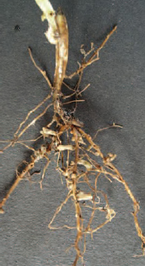 Figure 21.3 Rhizobium nodules on legume