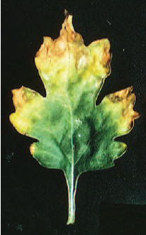 Figure 21.4 Potassium deficiency