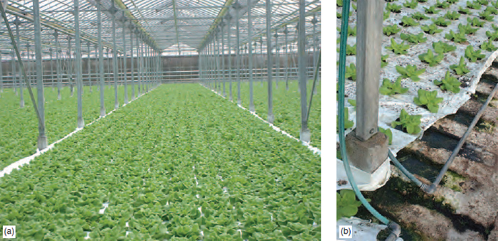 Figure 22.6 (a) NFT lettuce crop with close up (b) showing gullies and nutrient solution delivery