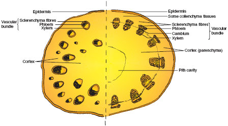 Transverse sections of a typical dicotyledonous stem