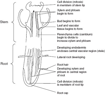 Diagram of stem and root showing areas of