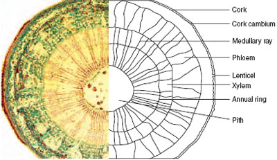 Cross-section of lime (Tilia europea) stem showing
