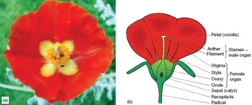 Flowers plant reproduction principles of horticulture botany figure 74 flower structure eg a flower of glaucium corniculatum and b diagram of typical flower to show structures involved in the process of ccuart
