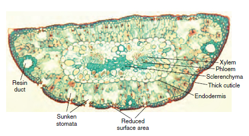 Cross-section of pine leaf ( Pinus) showing some adaptations to reduce water loss